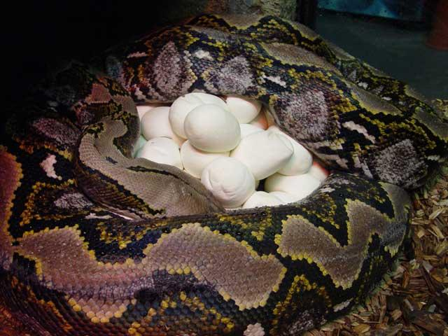 Самка питона отложила 40 яиц в «Animal парке» в Севастополе