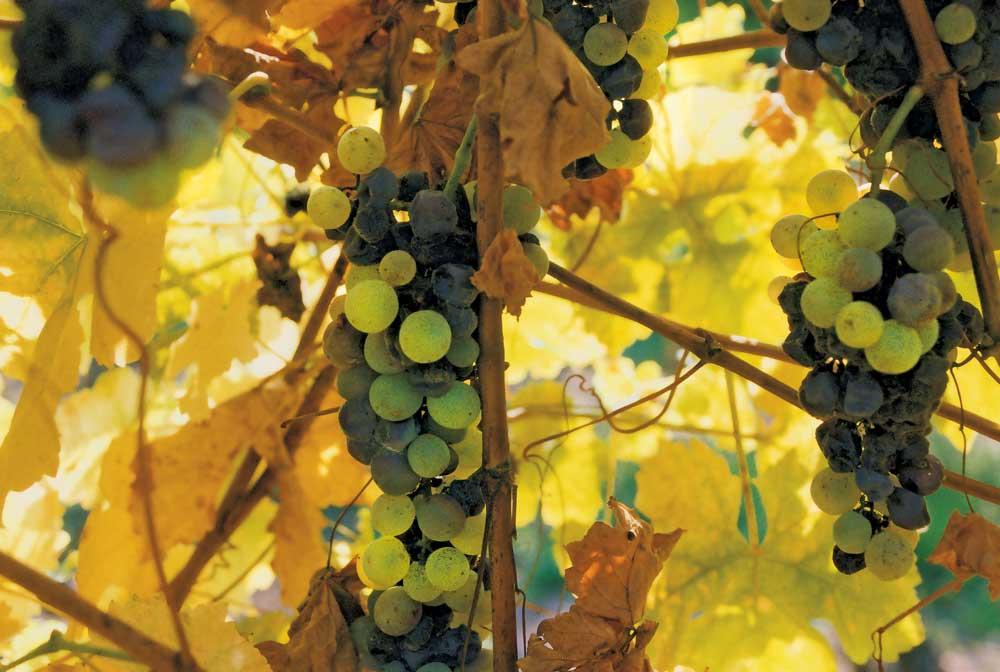 Медведеву представили стратегию развития виноделия в Севастополе