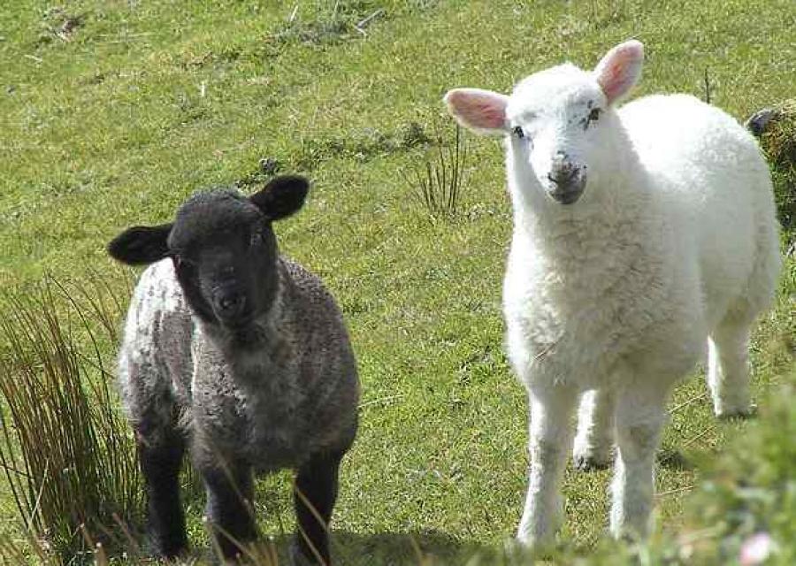 В Красноперекопском районе будут развивать овцеводство