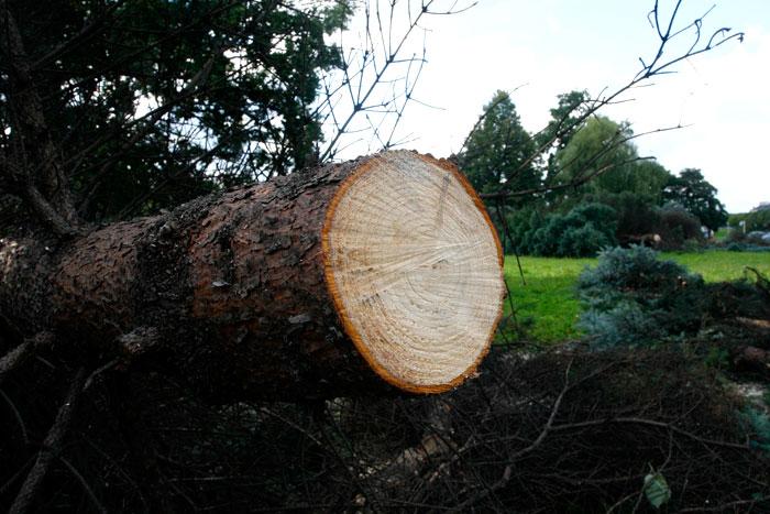 Рубку деревьев в Симферополе можно будет осуществлять лишь при наличии специального билета