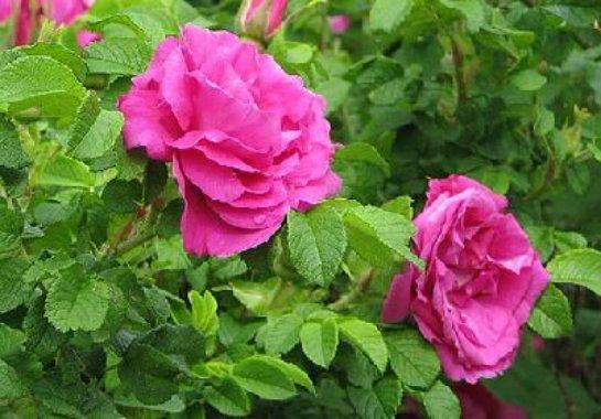 Как прививать розу к шиповнику?