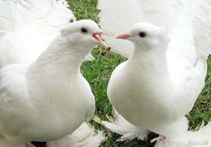 2 мая в Феодосии состоится выставка голубей