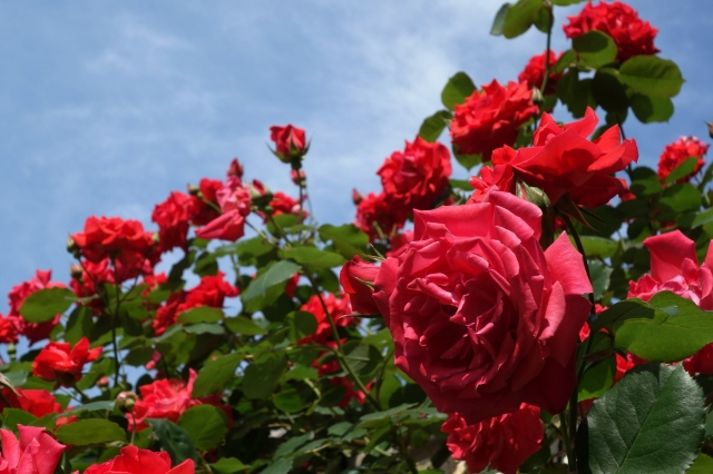 Алушта станет городом роз