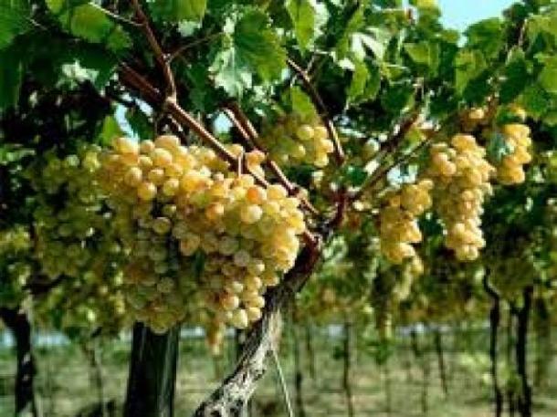 В Севастопольском университете откроют факультет виноделия