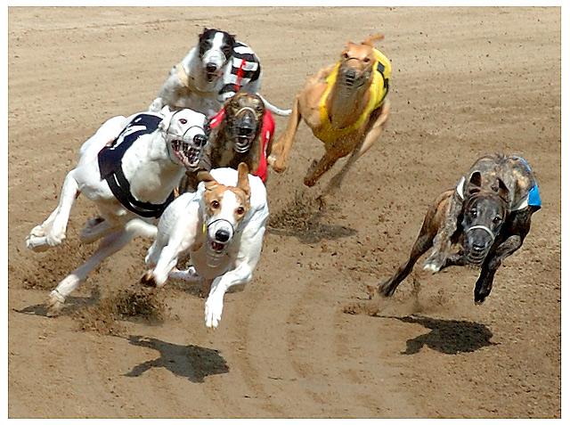 В Евпатории состоятся соревнования борзых собак