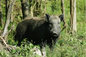 В Крыму в лесах увеличилась численность кабанов