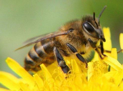 Пчеловодство: кровообращение и дыхание пчел