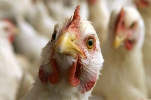 В Крыму опасаются птичьего гриппа