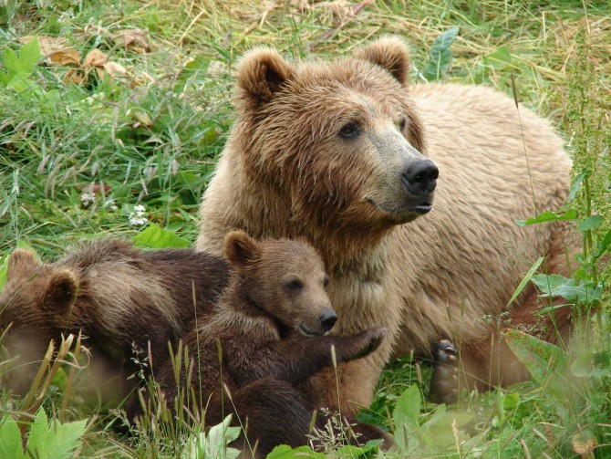 Зубков намерен создать в Крыму парк медведей