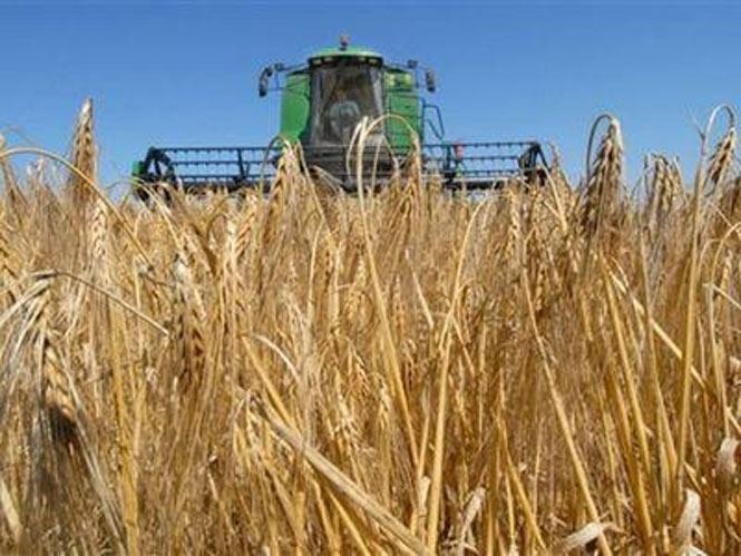 Симферопольские аграрные предприятия не могут собрать урожай зерновых из-за дождей