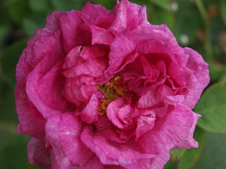В Никитском ботаническом саду появятся новые сорта роз