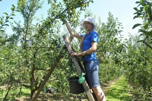 В Крыму всех желающих приглашают принять участие в уборке фруктов