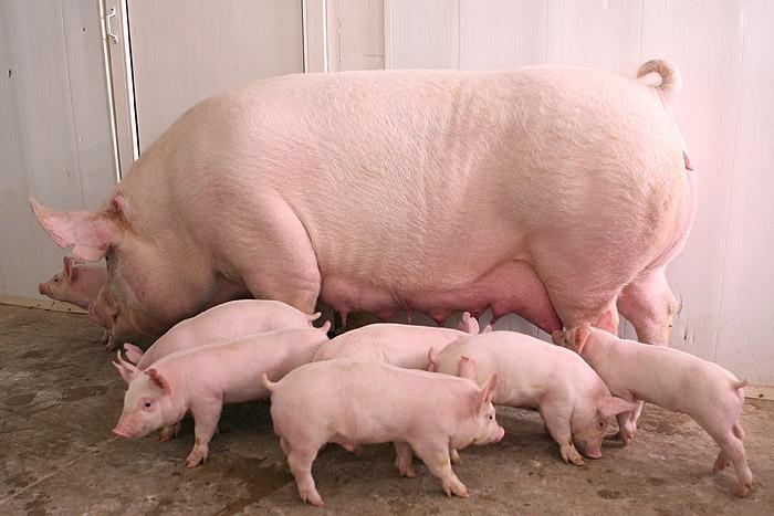 На свиноферме в Чистеньком намерены избавиться от неприятного запаха с помощью новой технологии