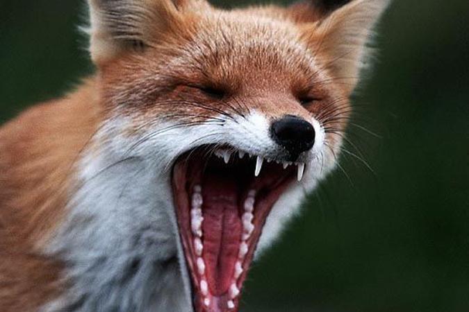 Бешеная лиса стала причиной введения карантина в одном из крымских сел