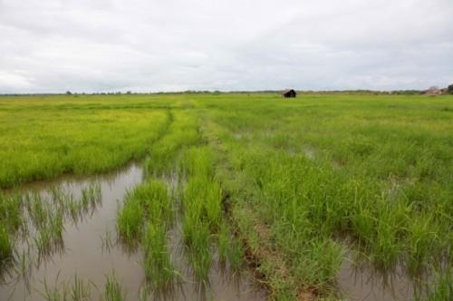На рисовых полях в Крыму теперь выращивают кориандр