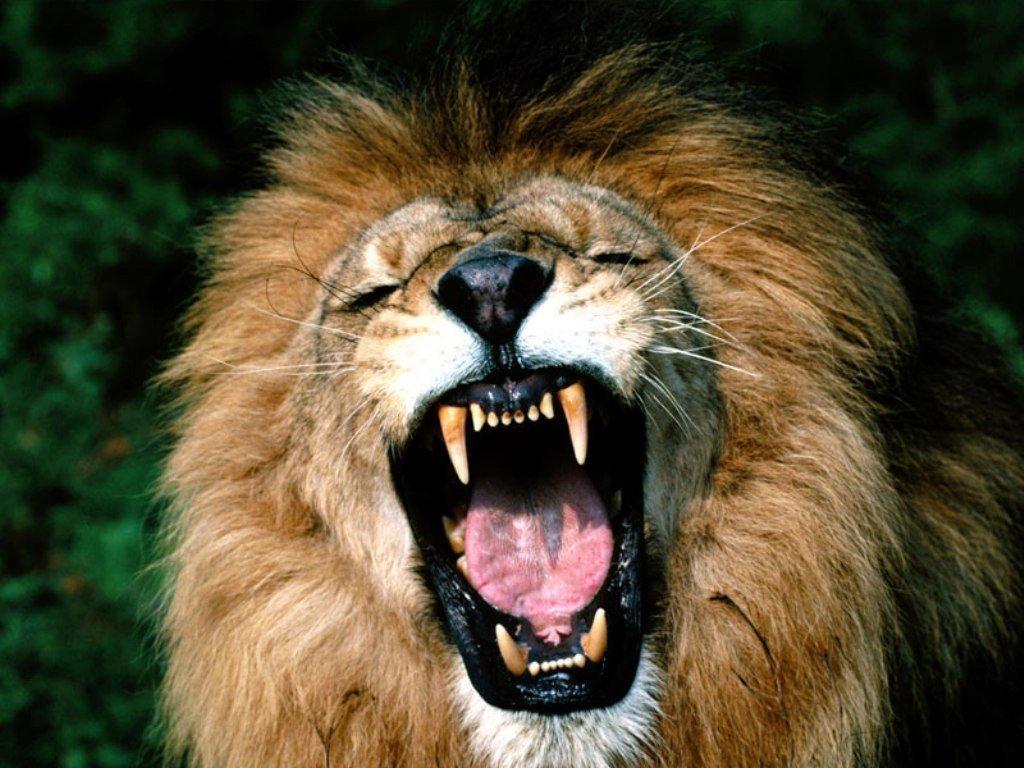 В Симферопольском цирке выступят львы из «Тайгана»
