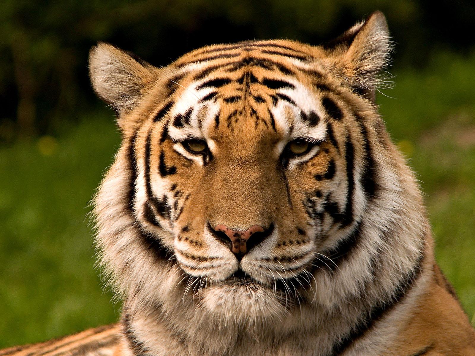 В «Тайган» доставили трех амурских тигров