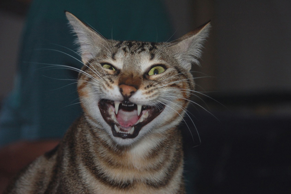 Под Судаком введен карантин из-за бешеного кота