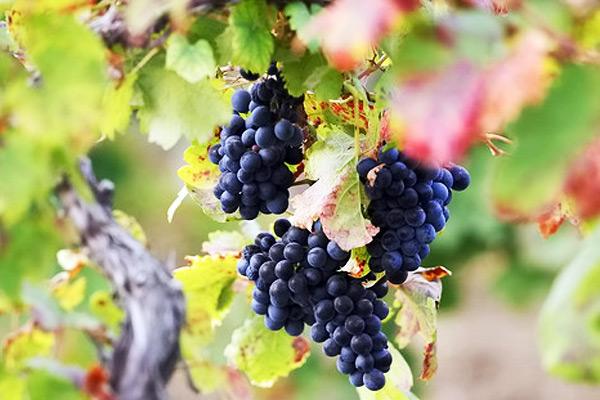 В «Массандре» открыты курсы по виноградарству для «артековцев»