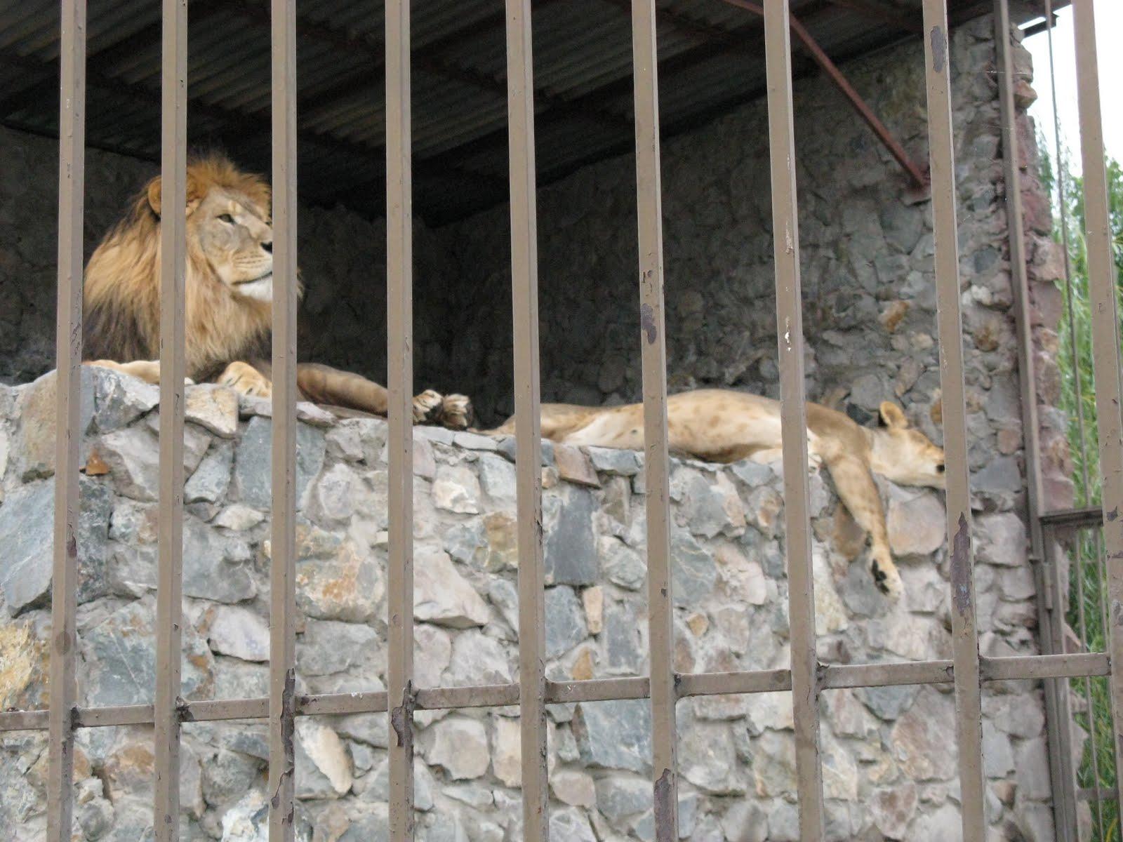 В Симферопольском зооуголке львы содержатся в ужасных условиях