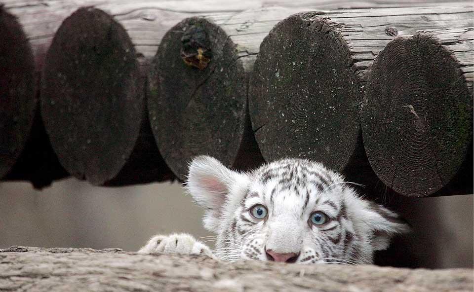 Ветеринары подтвердили, что спасти погибших бенгальских тигрят было невозможно