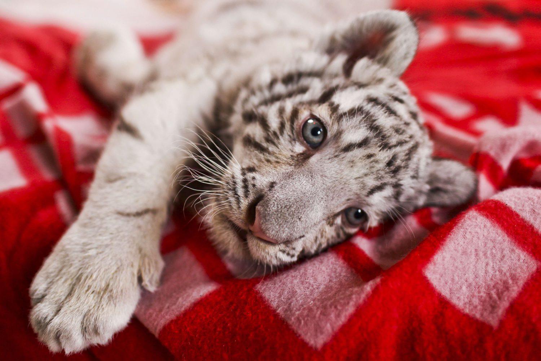 В Ялтинском зоопарке умер еще один тигренок
