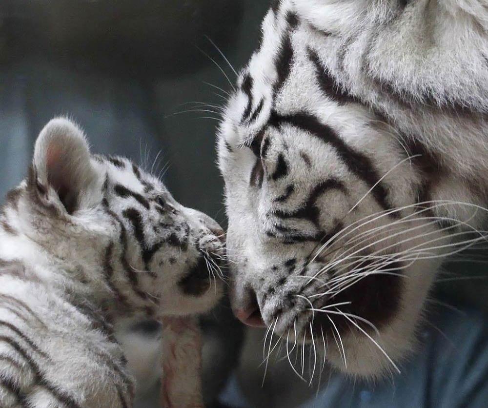 Стало известно, от чего погиб тигренок в «Сказке»