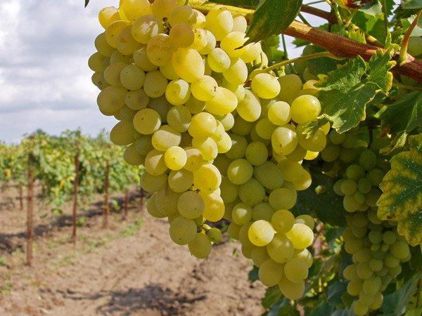 В Крыму хотят продать виноградники