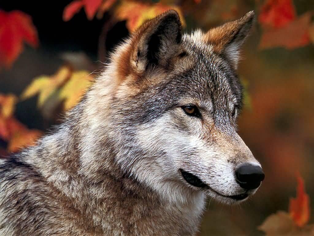 http://zakryma.ru/i/2015/12/JLM-wolf08.jpg