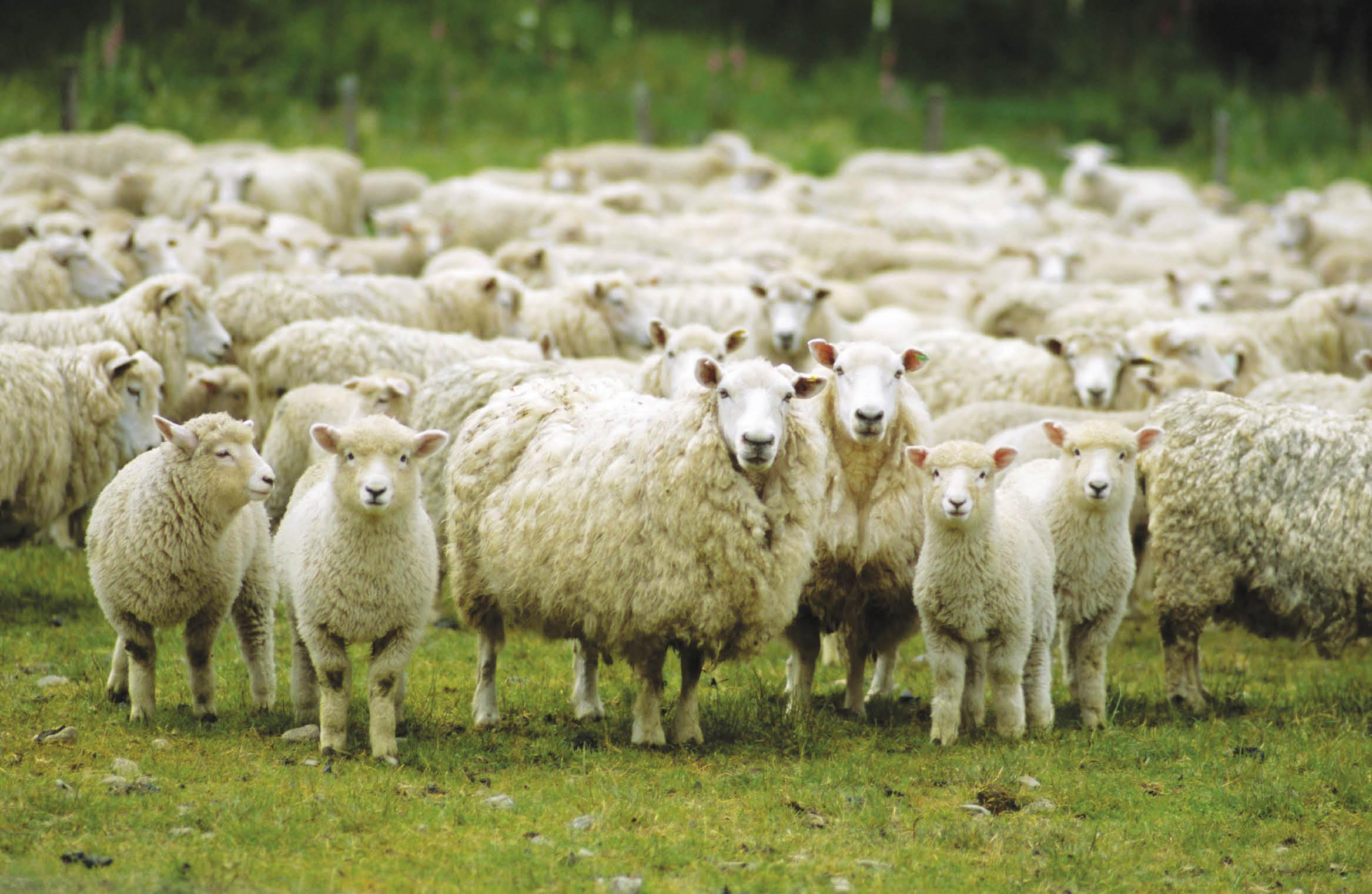 В Крыму семейная пора воровала чужих овец