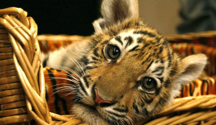 В ялтинском зоопарке амурские тигрицы принесли потомство
