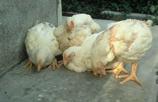 В некоторых крымских муниципалитетах ввели карантин из-за псевдочумы у домашних птиц