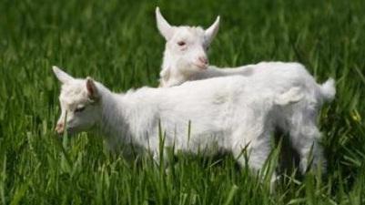 В Нижнегорском районе судебные приставы забрали у женщины козлят