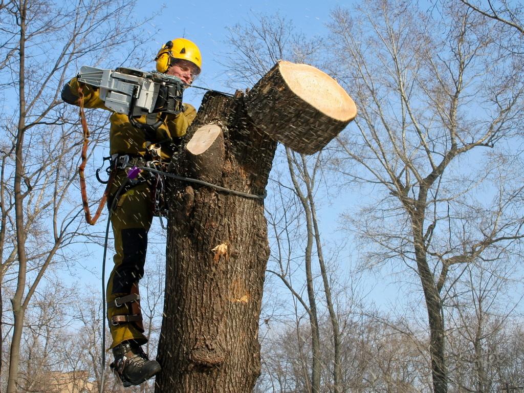 В Ялте будут массово спиливать деревья