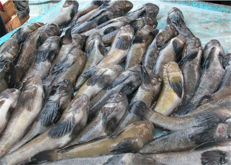 Рыбаки планируют увеличить вылов бычков в Азовском море