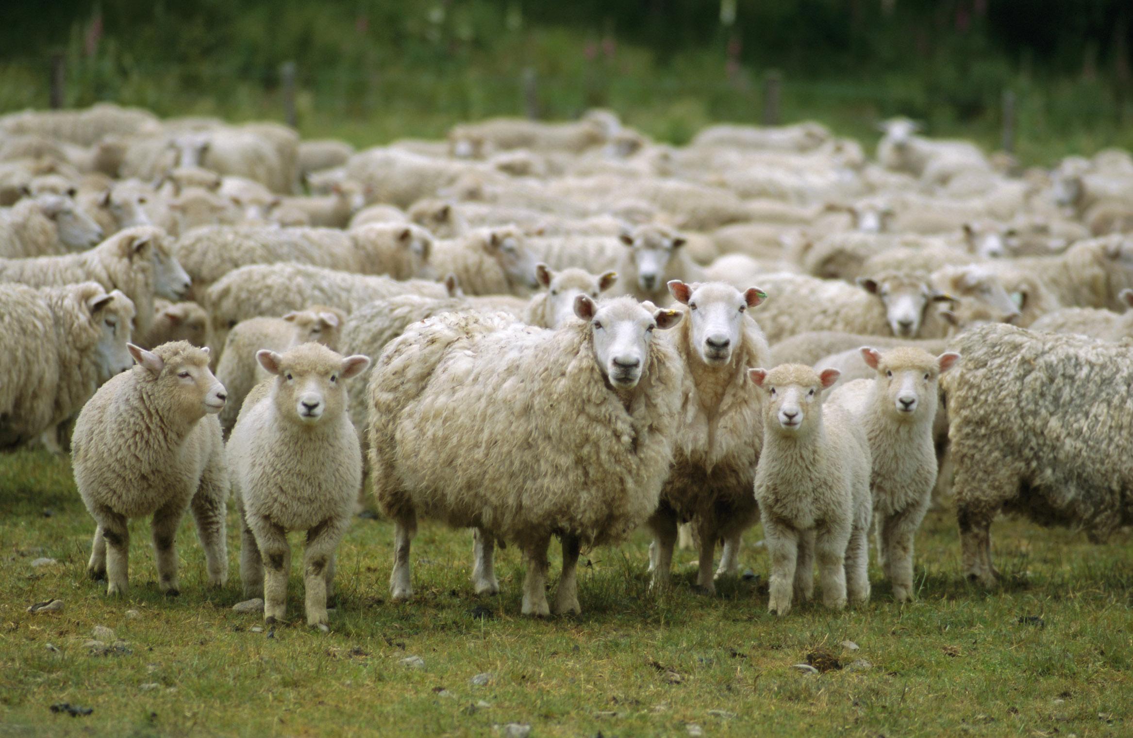 Турки передумали выращивать овец в Крыму