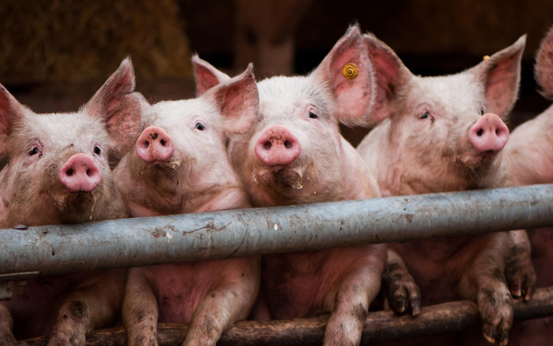 Закрытие фермы в Чистеньком нанесет ущерб производству свинины