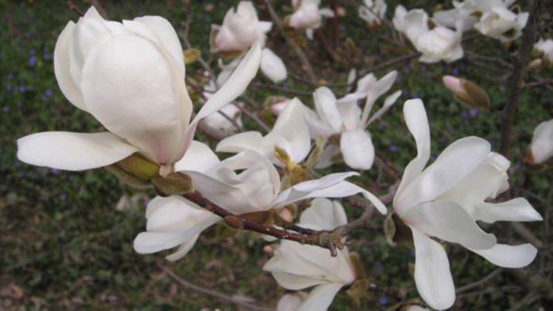 В Никитском ботаническом саду зацвели первые магнолии (+фото)