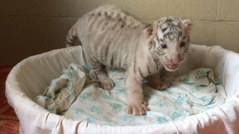 В сафари-парке «Тайган» презентовали детенышей львов, тигров и леопардов