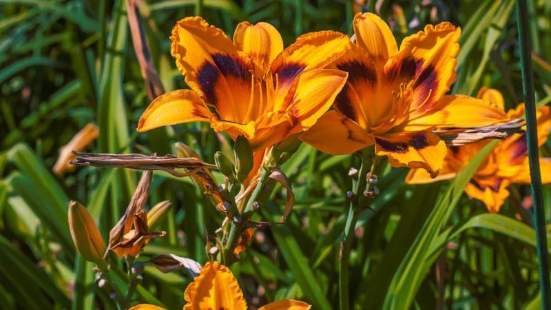 В Никитском ботсаду «цветы радости» находятся на пике цветения  (+фото)