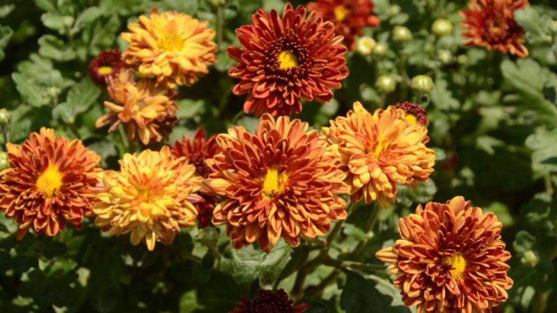 В Никитском ботсаду расцвели первые хризантемы (+фото)