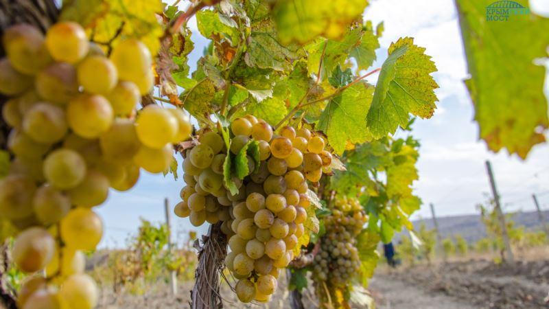 В Крыму увеличили площадь виноградников на 700 га – Минсельхоз полуострова