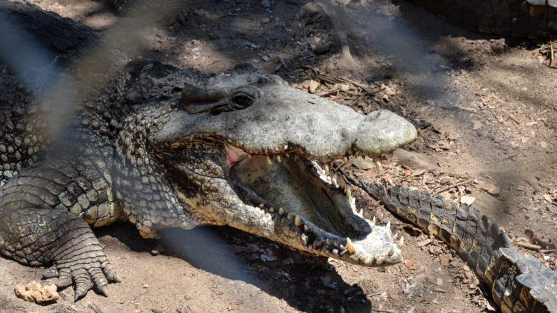Российские исполнители Анита Цой и Филипп Киркоров стали «родителями» крокодила в Ялте