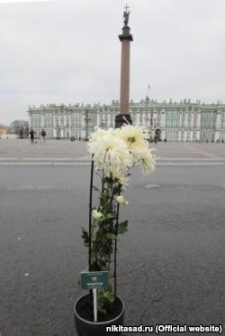 Никитский ботсад подарил Эрмитажу хризантему с одноименным названием (+фото)