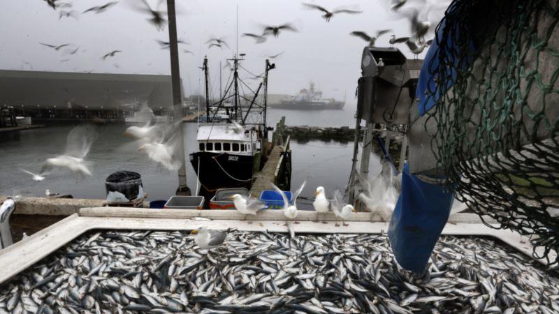 В Азово-Черноморском бассейне уменьшился вылов хамсы, шпрота и тюльки – Росрыболовство