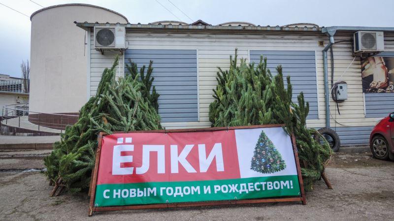 В Керчи продают сосны к Новому году по 500 рублей за метр (+фото)