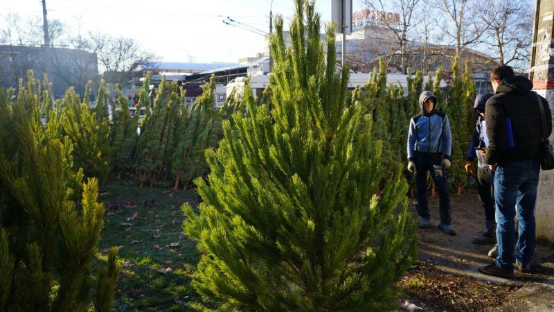В Симферополе открылись елочные базары: продают сосны из России