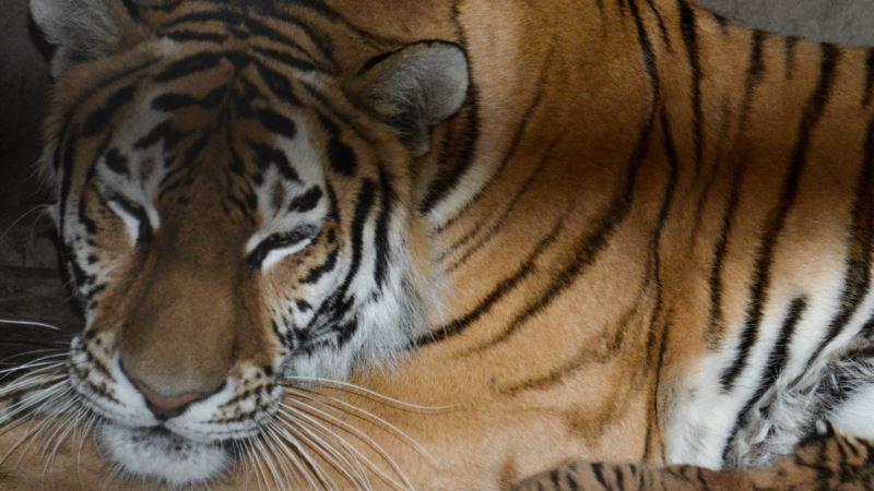 В российском Приморье поймали тигра, утащившего собак у погрануправления ФСБ