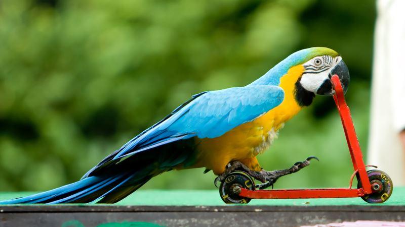 Мошенник из России выманил у керчанки деньги, обещая ей экзотического попугая – российская полиция