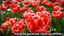 В Никитском саду расцветет около ста тысяч тюльпанов – директор ботсада